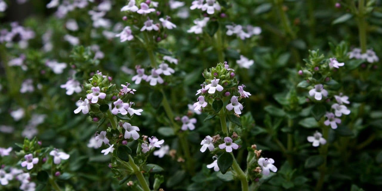 An Unexpected Eco-Lawn Alternative: Thyme